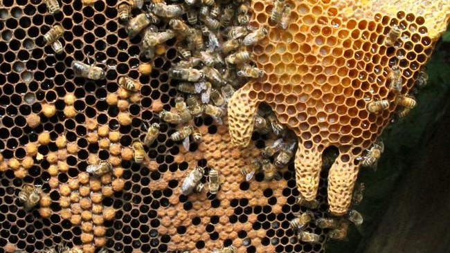 Three large peanut-looking honeybee queen cells grace the bottom of a brood comb.