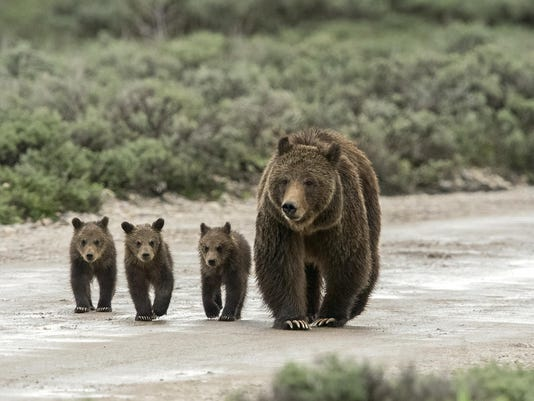 -grizzlies