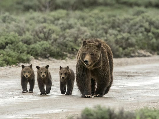 Grizzly bear 399 and three cubs in the Pilgrim Creek