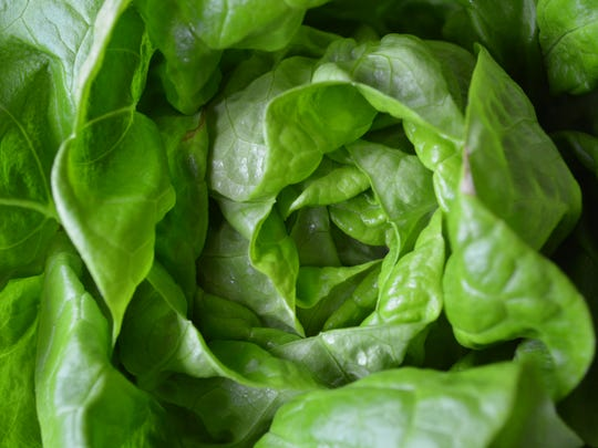 Lettuces can be harvested while it's still spring,