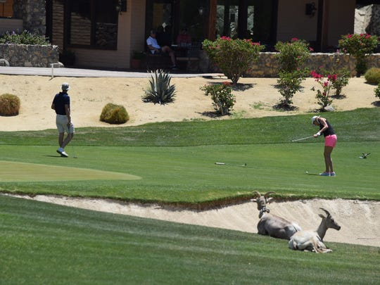 A golfer takes a swing as bighorn sheep lounge on the course at SilverRock Resort in La Quinta. A draft EIR outlines fence options for keeping the sheep off of La Quinta's golf courses as mandated by state and federal wildlife agencies.