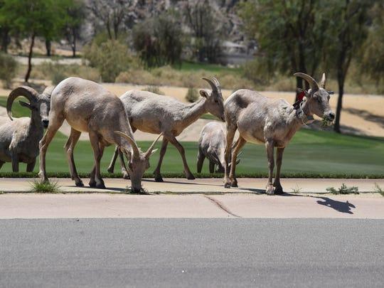 Bighorn sheep graze at SilverRock Resort in La Quinta