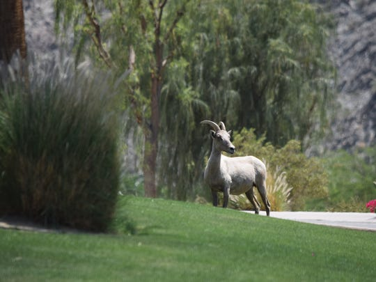 A bighorn sheep stands on the golf course at SilverRock
