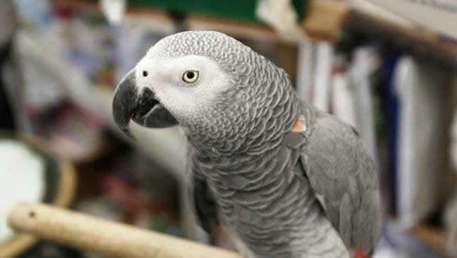 This handout photo received September 2007 courtesy of Brandeis University shows Alex, a world-renowned African Grey parrot.