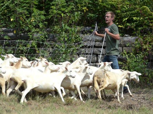 636076575883111013-Sheep-01.jpg