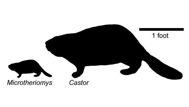 This diagram provided by John Day Fossil Beds National Monument paleontologist Joshua Samuels in May 2015 compares the size of a modern beaver, Castor, with a beaver that lived 20 million years ago in eastern Oregon. A piece of fossilized skull and teeth of the ancient beaver have been found at the monument, and represent a newly described species, which, unlike other beaver fossils, appears to be related to the modern beaver. (Joshua Samuels/National Park Service via AP)