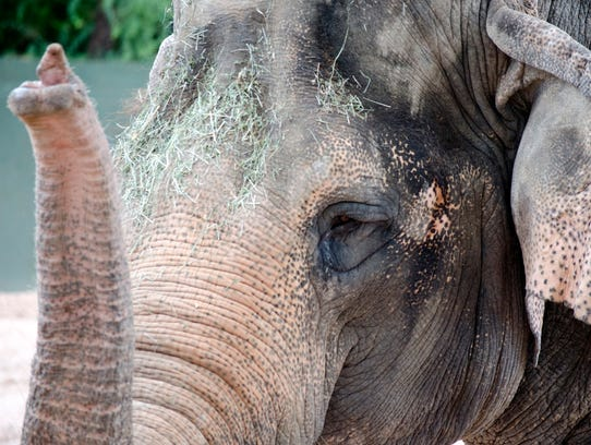 Phoenix Zoo - Asian elephant - Indu - photo by Joseph Becker