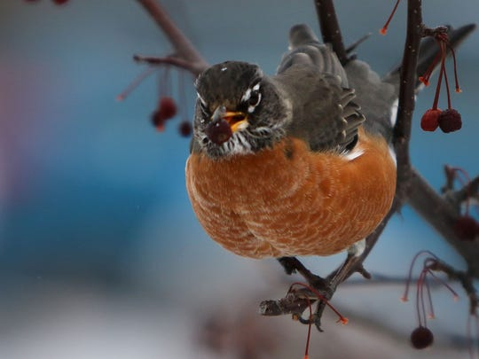 The robin is the Wisconsin state bird - and one of the most common summer birds in the state.