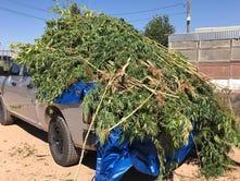 Sheriff's Office seized 130 marijuana plants in Chaparral