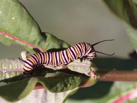 The monarch butterfly's caterpillars feed solely on
