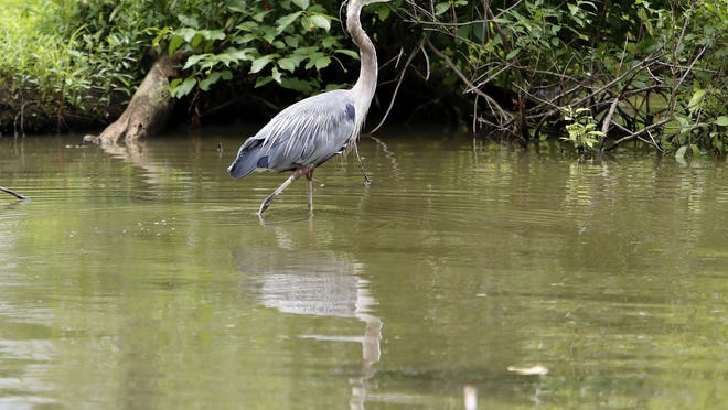 A grey heron walks in the shallow water near the boat launch at Charles Mill Lake on Monday.
