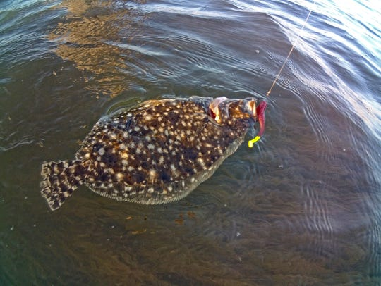 Flounder is a popular and fairly common species caught
