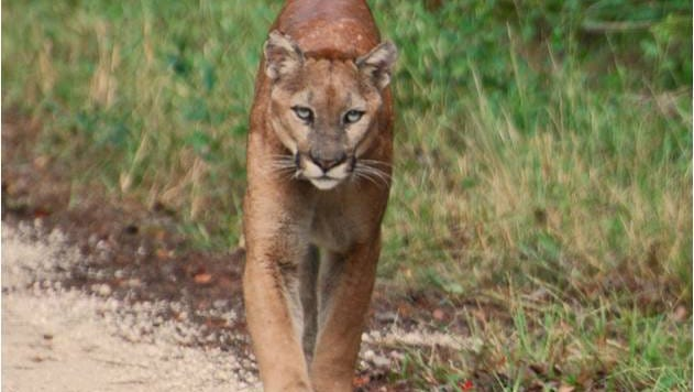 An adult Florida panther prowls along a rural dirt road in South Florida