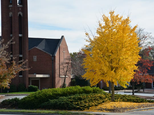 As fall from the ginkgo tree, such as this example in the churchyard at Westminster Presbyterian on Augusta Street, they create a brilliant carpet.