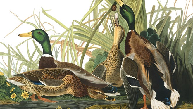 "Mallard Duck from ""The Birds of America"", Havell Edition, London 1834."
