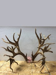 The antlers from a potential world-record whitetail
