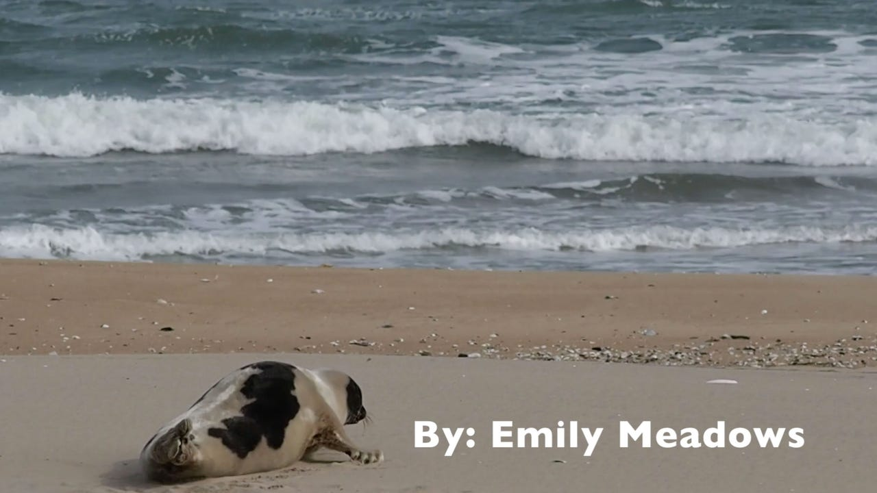 WATCH: Seal goes back into the Ocean on 15th Street in Ocean City