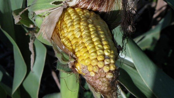 Feed corn in a North Dakota field. The corn has been genetically engineered to withstand the herbicide glyphosate.