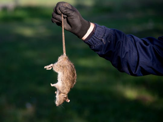 Farmer with protective gloves holding dead rat for