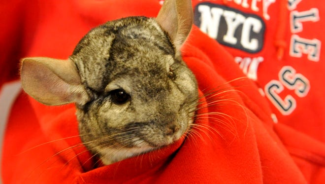 A chinchilla is small enough to fit inside the front pocket of a sweatshirt.