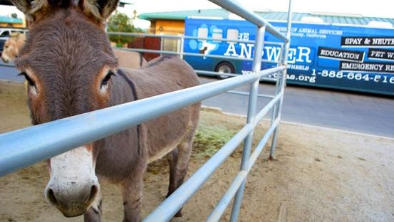 Burros wrangled from the outskirts of Highgrove were turned over to a rescue.