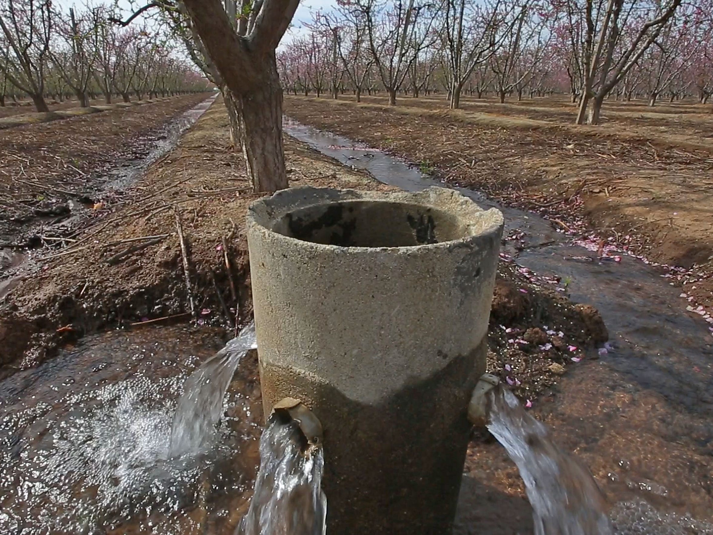 Water flows into an almond orchard east of Fresno.