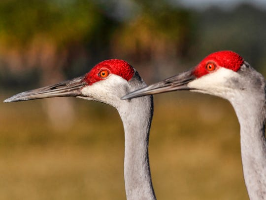 Kent Van Horn, the DNR's migratory bird chieftain, said it's likely 2,000 to 3,000 of the Upper Great Lakes' roughly 100,000 sandhill cranes die of shotgun blasts each year.