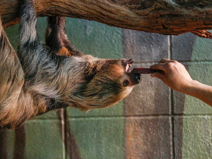 A zookeeper offers Janis a piece of food inside the