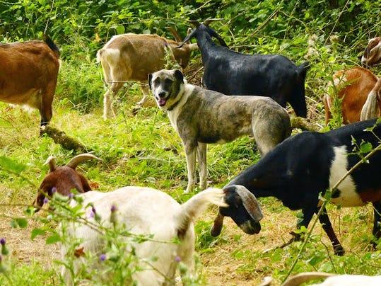 SAL Goats 0314