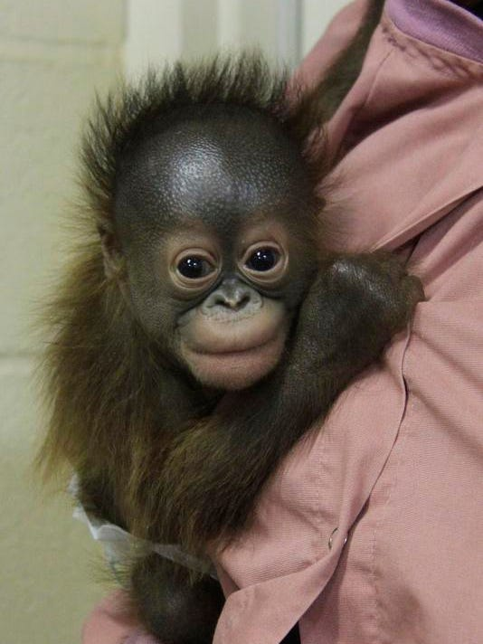 Orangutan Needs Mom