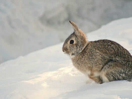 rabbit in snow.jpg