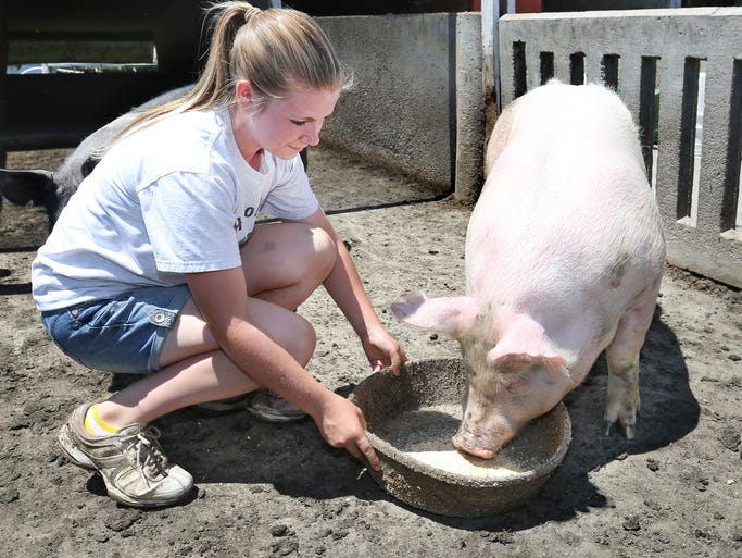 Karissa Rulon, 15, Arcadia, a 7-year 4-H member, feeds a pig on her family's farm. Rulon, 15, Arcadia, a 7-year 4H member, will show four pigs at the Hamilton County Fair this year. She and her father, Hamilton County hog farmer Jay Rulon, are concerned about Porcine Epidemic Diarrhea Virus (PEDv), the virus that endangers pigs.