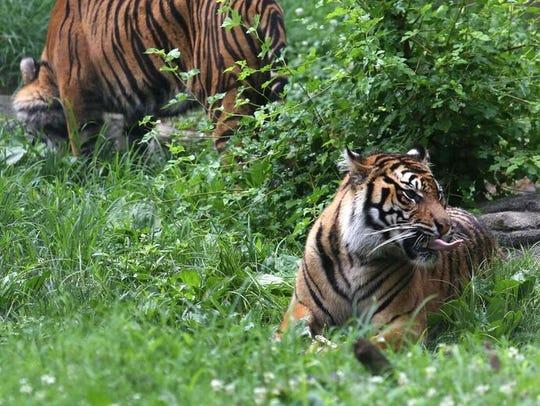 Two of three Sumatran tiger sisters explore their