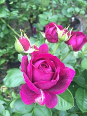 Roses  are not only pretty but fragrant.