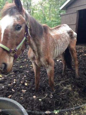 Roy, the horse, is shown in the conditions he faced when the Wood County (Wis.)  humane officer first saw him in September 2016.