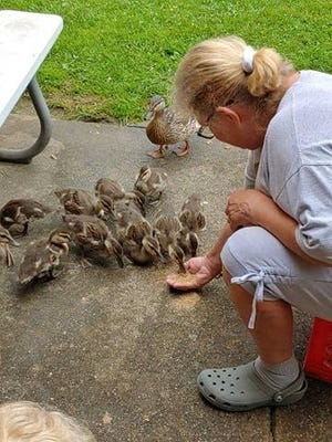 Schrop Intermediate custodian Sue Hennigin feeds a group of ducklings that she helps raise until they are able to go off in the wild.