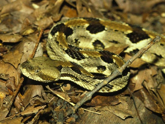 A Missouri timber rattlesnake.