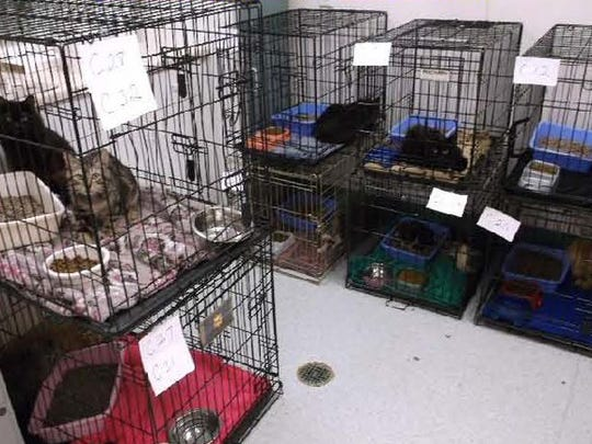 Cats collected from a woman arrested on charges of animal abuse.