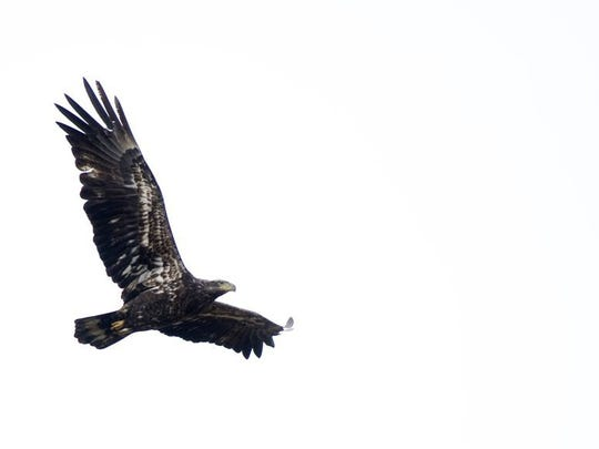 An immature bald eagle casually cruises above Old Ben Station at the Patoka River National Wildlife Refuge.