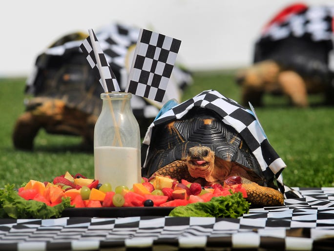 And the winner is . . . Marco, front, who prepares to feast on a tasty dish of fresh fruit after outpacing the field of four other radiated tortoises at the Indianapolis Zoo's annual Zoopolis race on Wednesday, May 21, 2014. The competition included Helio, Pippa, Ed and Alex. Driver Tony Kanaan was on hand to wave the green and checkered flags for the event and talk to zoo visitors about the upcoming Indianapolis 500 on Sunday.