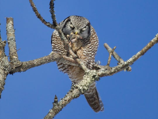 Northern hawk-owl in Waterbury Center.