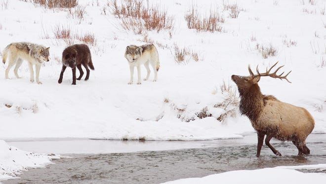 Three members of the Druid wolf pack in Yellowstone National Park keep this bull elk cornered on the river. On three occasions, the wolves let the bull leave the creek and make its way to the timber some 400 yards away, only to chase it back again to the river. On the fourth try, the elk managed to escape unharmed.