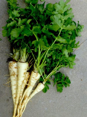 Freshly harvested parsnips with tops. The long, tapering root resembles that of a white carrot. Parsnips have a mild nutty flavor, creamy texture, and are sweetest when harvested following a frost. They keep in the garden well into the winter months.
