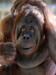 Lucy the orangutan