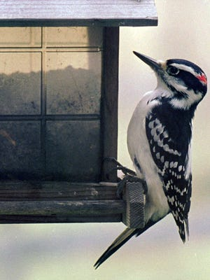 A downy woodpecker sits on a bird feeder in Calais, Vt. A scientific study being released in April 2017 found that Vermont forest birds declined by more than 14 percent over 25 years. Among those declining was the downy woodpecker.