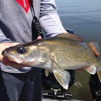 Brett Jolly of Mosinee holds a 26-inch walleye prior
