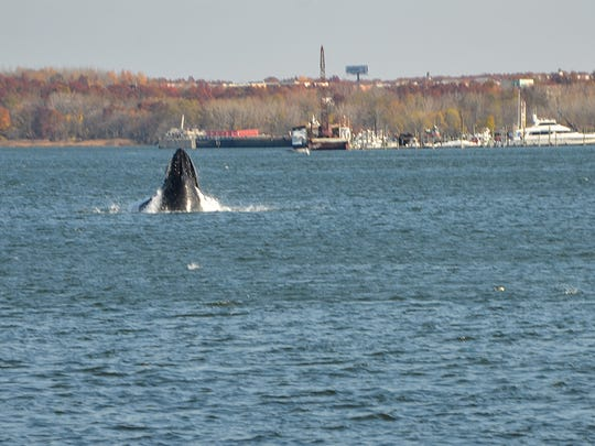 A humpback whale in Raritan Bay on Thursday morning.