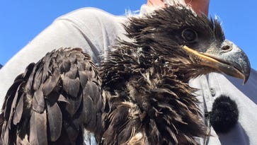 For Arizona's once-dwindling bald eagle population, recovery starts in the nest