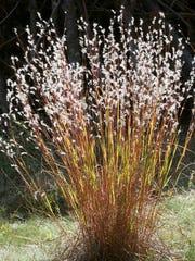 Little bluestem native grass offers year-round interest