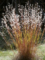 Little bluestem native grass offers year-round interest